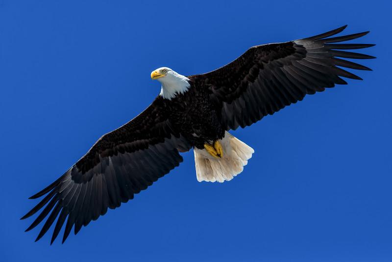 DSC 7244 eagle soaring.jpg