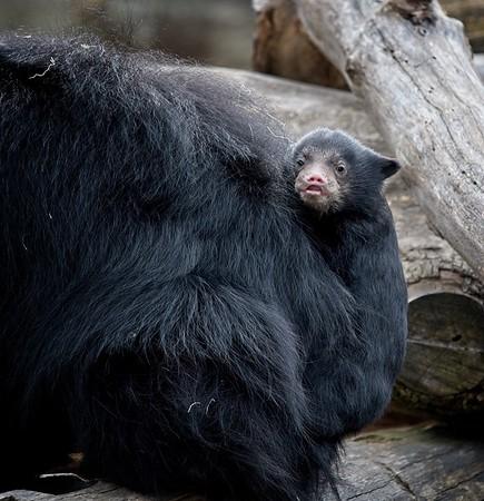 Baby Sloth Bear Cub April 2019