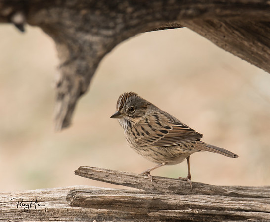 Lincoln Sparrow Framed LL.jpg