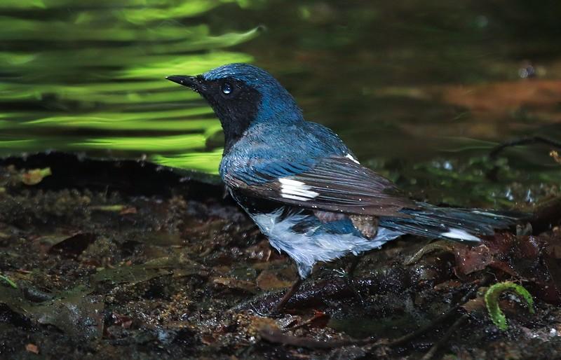 Black-throated Blue Warbler.