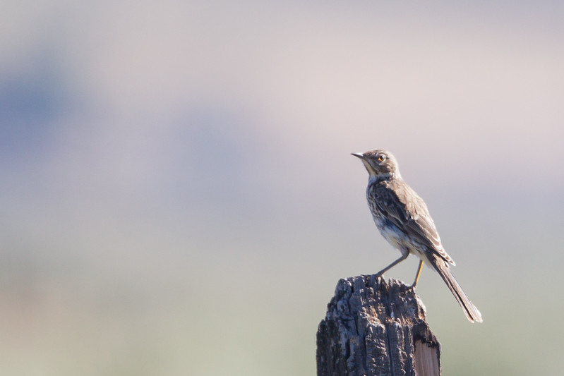 Sage Thrasher - Maddalena Ranch, Sierra Valley, CA, USA