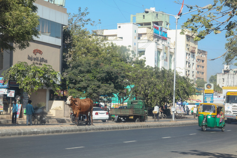 A cow hangs out in the narrow median of the busy road.