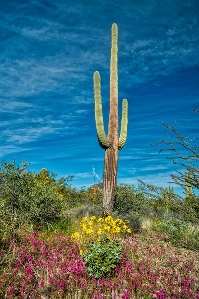 Organ Pipe Cactus 2020-20.jpg