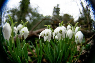 Snowdrops at Stanbrook Abbey
