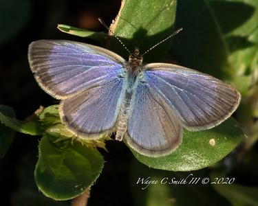 Hawaiian Lesser Grass Blue