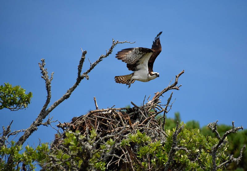 Osprey2-North-Carolina-Outer-banks.jpg