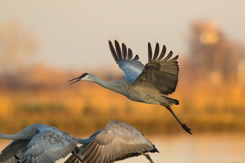 Sandhill Cranes Winter 2018-6.jpg