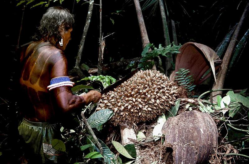 Kayapo men collecting the Brazalian nuts which is used to make medicinal oil.Kayapo, Brazilian Amazon.