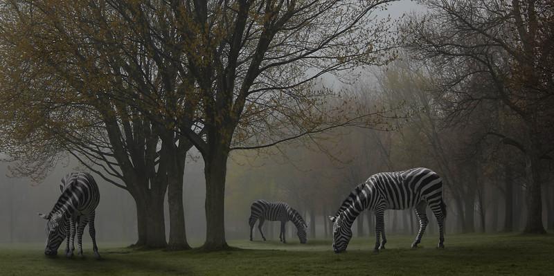 zebras-park.jpg