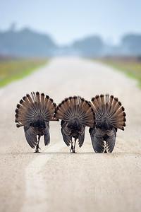 Wild Turkeys and Bobwhites