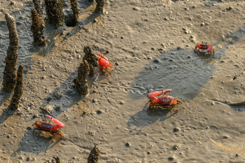 Fiddler-Crabs-Sundarbans.jpg