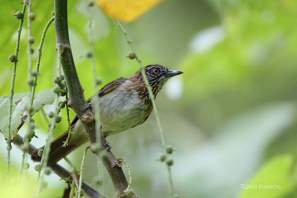Mindanao Pygmy Babbler