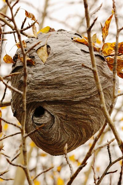 Large Hornets Nest