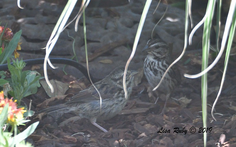 Adult and Juvenile Song Sparrow - 6/9/2019 - Sabre Springs Backyard