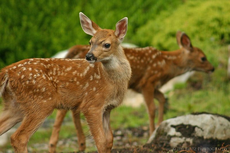 Fawns in our front yard
