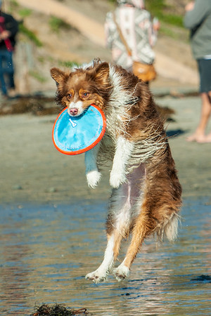 Frisbee catching Aussie at Del Mar Dog Beach 12.25.16