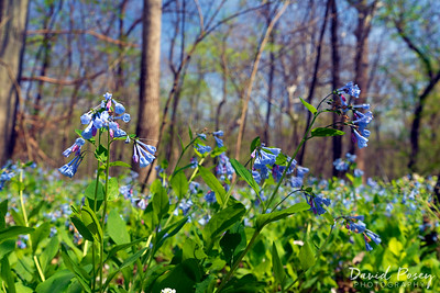 Bluebells at Bull Run