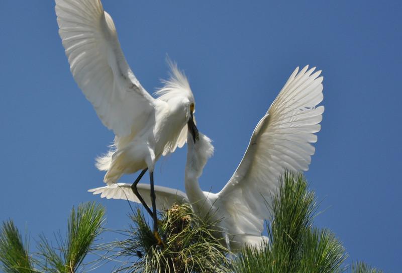 Egret Feeding 3.JPG