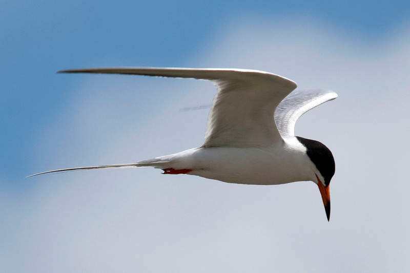 common tern in flight, Galveston