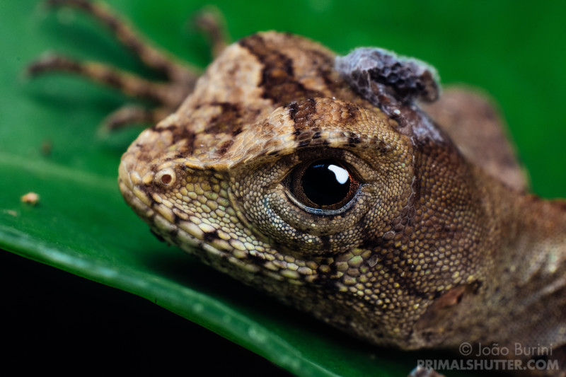 Portait of an Enyalius lizard shedding skin