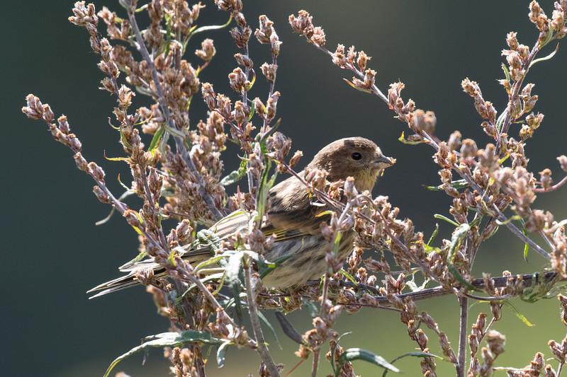 Adishi, groenling, greenfinch