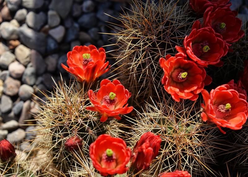 NEA_6029-7x5-Cactus Flower.jpg