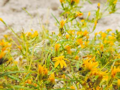 Cinchweed (Pectis papposa)