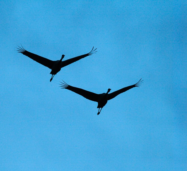 Sandhill Cranes coming to roost at Crex Meadows  [October 2008, near Grantsburg, Wisconsin]