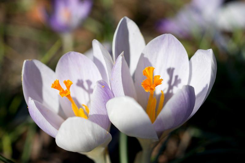 Twin Crocus Flowers