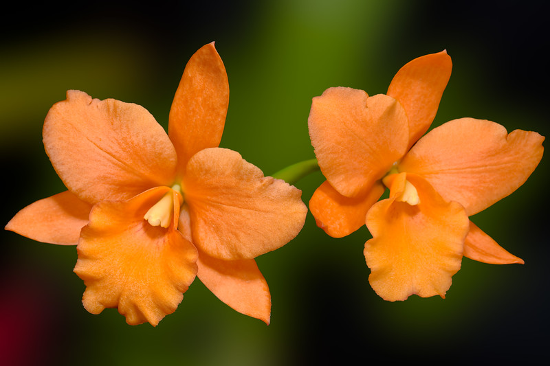 031-Orange Twins.JPG