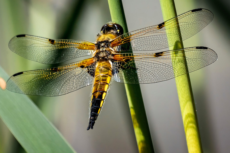 Four Spotted Darter