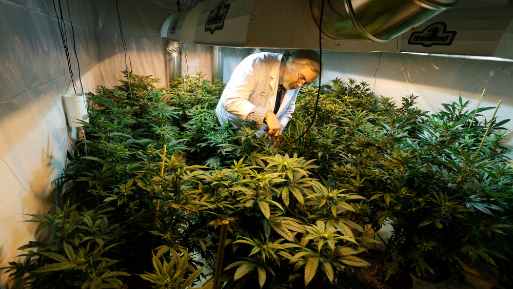 . Jake Dimmock, co-owner of the Northwest Patient Resource Center medical marijuana dispensary, works with flowering plants in a grow room, Wednesday, Nov. 7, 2012, in Seattle. After voters weighed in on election day, Colorado and Washington became the first states to allow legal pot for recreational use, but they are likely to face resistance from federal regulations. (AP Photo/Ted S. Warren)