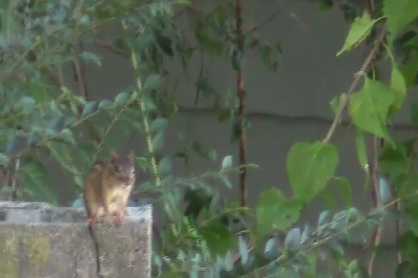 Chipmunks in Back Yard