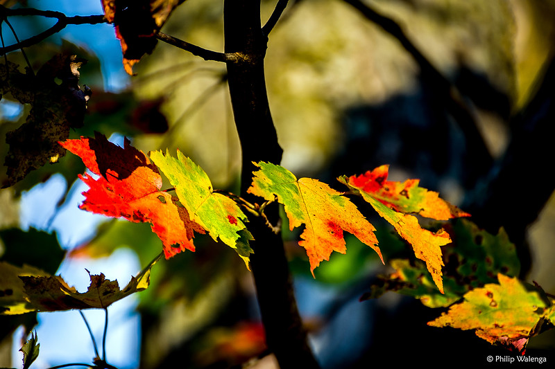 20151018 Fall Leaves-4404 edited copyrighted.jpg
