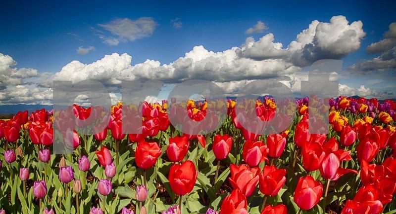 Tulips, Skagit 3970_HDRc.jpg