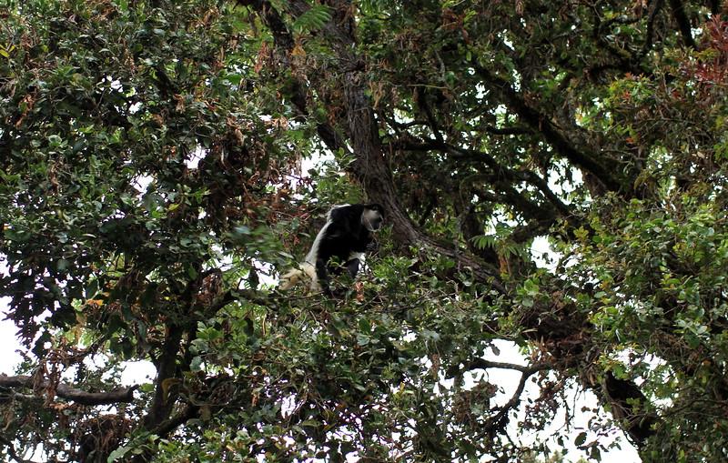 Black-White Colobus Monkey