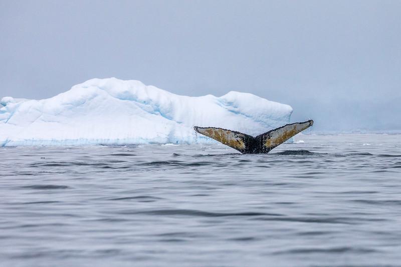 Whale Diving- Y2A0493-.jpg