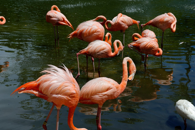 Flamingos- Sarasota Jungle Gardens - Sarasota Florida