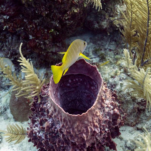 Fish over Tube Sponge Coral, Belize Barrier Reef, Belize