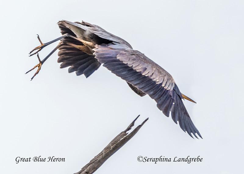 _DSC2777Great Blue Heron.jpg