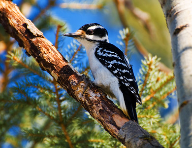 Female Hairy Woodpecker  Taken March 31, 2011 Elk Island Retreat Near Fort Saskatchewan, Alberta