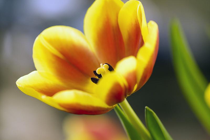 Tulip_0586.jpg