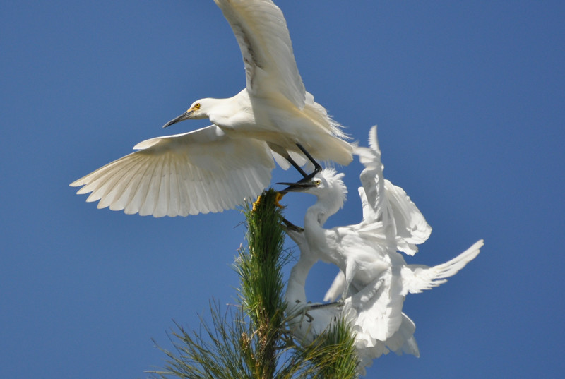 Egret Antics 15.JPG