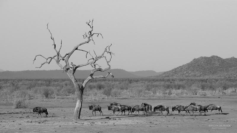 Blue Wildebeest, Madikwe GR (Imp), SA, Sept 2015 b&w.jpg