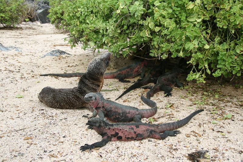 2007-02-19-0013-Galapagos with Hahns-Day 3, Espanola-Sea Lion-Marine Iguanas.JPG