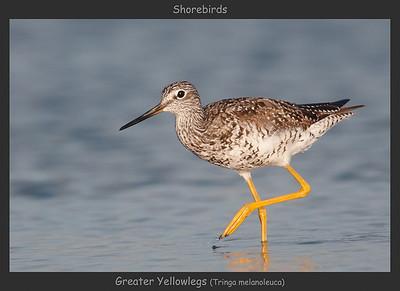 Greater Yellowlegs