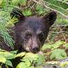 Image of June's female cub Ember taken late June 2013.  Ember was born in January 2013. Ursus americanus (American Black Bear).