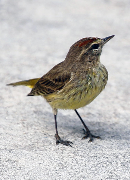 A Key West Sparrow