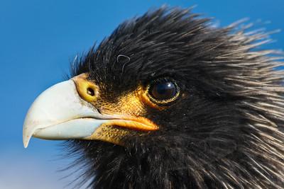 Cara cara closeup. Falkland Islands/Malvinas.