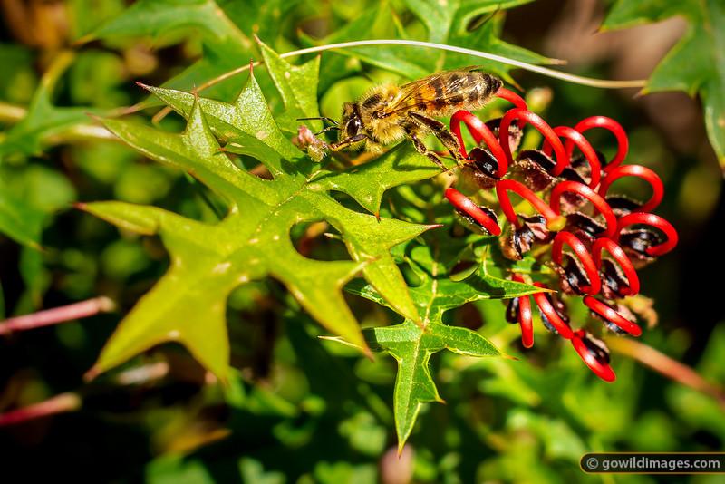 Mt Cole Grevillea Bee